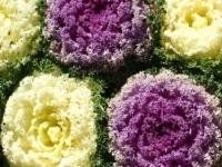 Декоративная капуста из семян: выращивание и уход