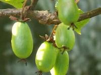 Актинидия коломикта: посадка, выращивание и уход