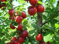 Алыча: посадка, выращивание и уход