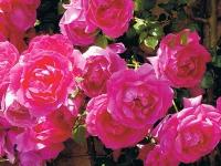 Цветущие лианы