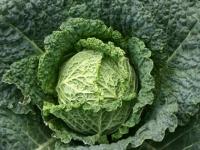 Савойская капуста: выращивание и правила ухода