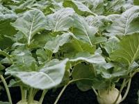 Кольраби: выращивание и уход