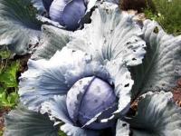 Как вырастить краснокочанную капусту?