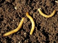 Как избавиться от проволочника в огороде?