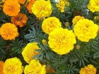 Растения, отпугивающие вредителей