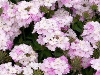 Ароматные растения и цветы