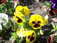 Бордюрные цветы: однолетники и многолетники