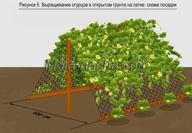 Огурцы - выращивание, посадка, уход. В открытом 71
