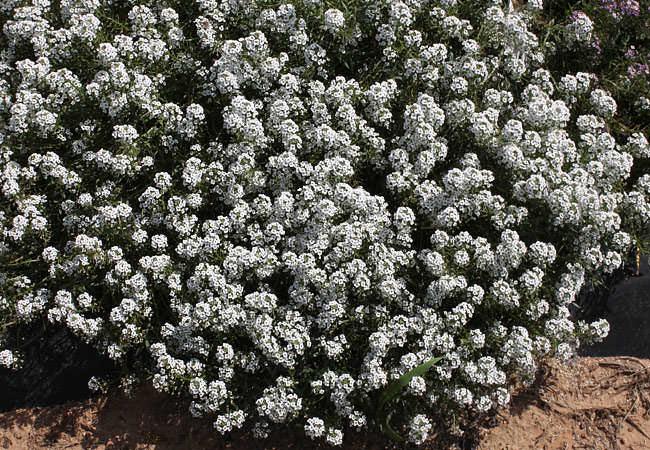 Растения с приятным ароматом фото: алиссум