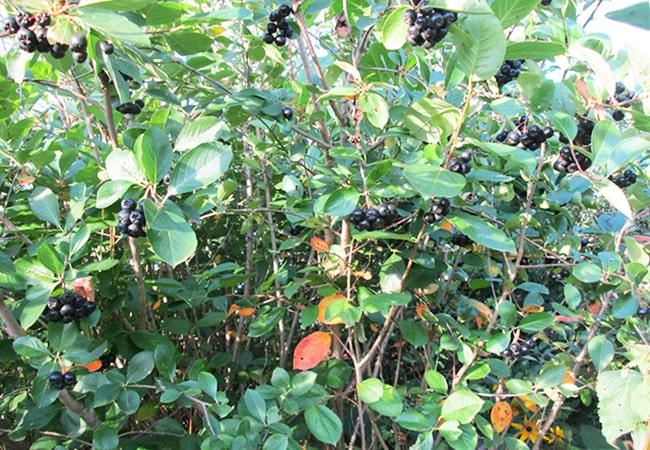 Черноплодная рябина: посадка, уход, фото