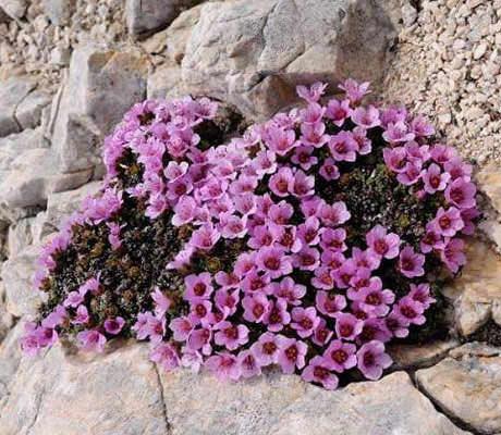 Низкие стелющиеся цветы фото