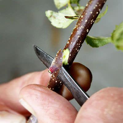 Окулировка плодовых деревьев фото