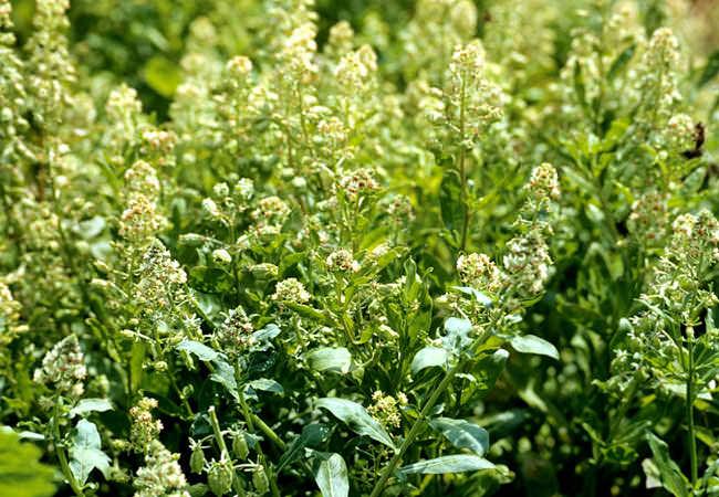 Душистые растения для сада фото: резеда