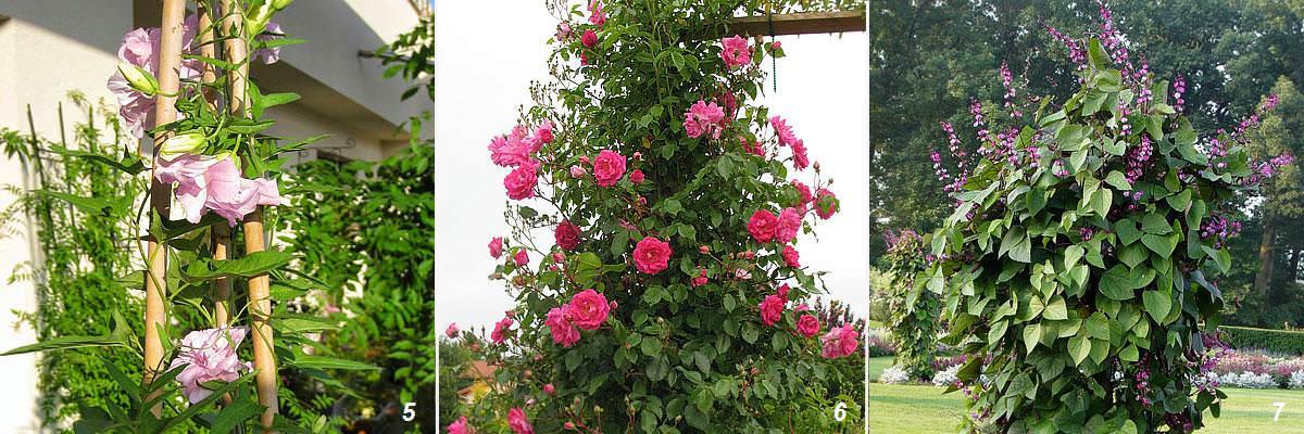 Фото разновидностей вьющихся цветов